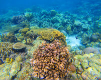 Coral reef underwater background. Diverse coral shapes. Coral fish in reef. Colorful tropical fishes in wild nature. Sea bottom with coral ecosystem. Tropic Royalty Free Stock Images