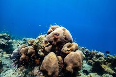 Coral reef underwater. Beautiful colorful coral reef and tropical fish underwater in St Lucia Caribbean royalty free stock images