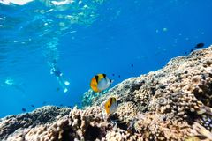 Coral reef underwater. Beautiful colorful coral reef and tropical fish underwater in Maldives Stock Photos