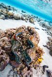 Coral reef underwater. Beautiful coral reef and a giant blue clam underwater in Aitutaki Cook islands Royalty Free Stock Image