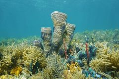 Coral reef underwater with branching vase sponge. Coral reef underwater in the Caribbean sea with branching vase sponge colonized by brittle stars Stock Image