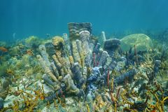 Coral reef underwater with branching vase sponge. Underwater marine life on a coral reef of the Caribbean sea with mostly branching vase sponge covered by sponge Royalty Free Stock Image