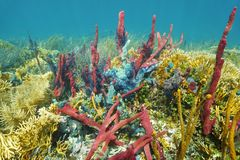 Coral reef underwater with colorful sponges Royalty Free Stock Photo