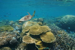 Coral reef underwater green sea turtle and fish Royalty Free Stock Images