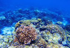 Coral reef underwater landscape. Diverse coral shapes. Coral fish in reef. Colorful tropical fishes in wild nature. Sea bottom with coral ecosystem. Tropic Stock Photography
