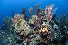 Coral reef in Honduras Royalty Free Stock Photo
