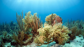 Coral reef. Underwater off the coast of Roatan Honduras Royalty Free Stock Photography