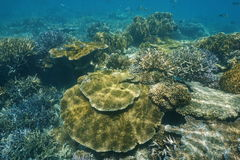 Coral reef underwater Pacific ocean New Caledonia. Coral reef underwater in shallow water of the lagoon of Grande Terre island, south Pacific ocean, New royalty free stock photo