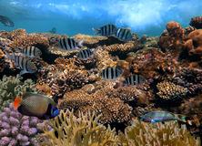 Coral reef underwater panorama with school of colorful tropical Royalty Free Stock Photography