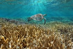 Coral reef underwater with a sea turtle royalty free stock images