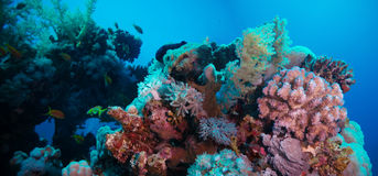 Coral reef with violet hard corals poccillopora at the bottom of tropical sea Stock Image