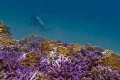 Coral reef with violet hard corals, yellow fire co Stock Photo