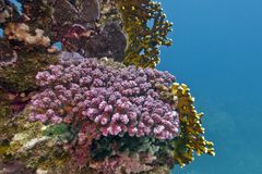 Coral reef with violet stony coral at the bottom of tropical sea Royalty Free Stock Photos