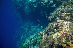 Coral reef wall by blue ocean abyss. Undersea landscape. Fauna and flora of tropical shore. Coral reef underwater photo. Snorkeling in tropics. Exotic island Royalty Free Stock Images