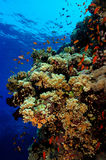 Coral reef. Wall reef with lots of marine life Stock Image