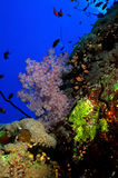Coral reef. Wall reef with lots of marine life Royalty Free Stock Images
