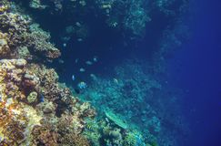 Coral reef wall with tropical fish. Deep undersea landscape. Fauna and flora of tropical shore. Coral reef underwater photo. Diving in tropics. Exotic island Stock Photos