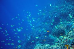 Coral reef wall with tropical fish. Undersea landscape. Fauna and flora of tropical shore. Stock Image