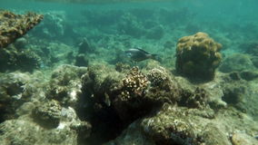 Coral Reef By the Water Surface in Red Sea. Slow motion underwater shot of a coral reef by the water surface in Red Sea. Tropical fishes are swimming by the reef stock video footage