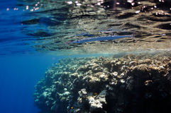 Coral reef and whistle fish at the Red Sea Royalty Free Stock Images