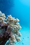 Coral reef with white soft coral at the bottom of tropical sea Royalty Free Stock Images