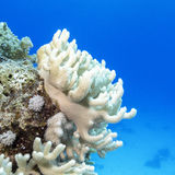 Coral reef with white  turbinaria mesenterina in tropical sea Royalty Free Stock Images