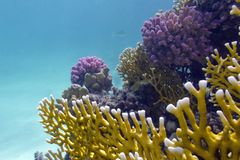 Coral reef wih hard and fire coral Royalty Free Stock Photo
