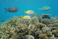 Coral Reef With Colorful Fish South Pacific Ocean Stock Image