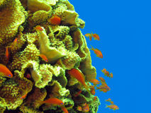 Free Coral Reef With Great Yellow  Coral Turbinaria Reniformis Stock Photography - 40749352