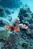 Coral Reef With Lionfish Above The Bottom Of Tropical Sea Royalty Free Stock Image