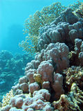 Coral reef withe hard corals at the bottom of tropical sea. On blue water background Stock Photos