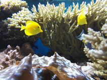 Coral reef yellow fish Royalty Free Stock Photos