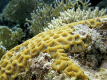 Coral reef with yellow brain coral in tropical sea, underwater Royalty Free Stock Photos