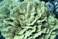 Coral reef with yellow coral turbinaria mesenterina Stock Photos