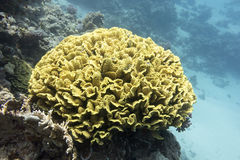 Coral reef with yellow coral turbinaria mesenterina in tropical Stock Photography