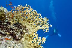Coral reef with yellow fire coral and diver at the bottom of tropical sea Royalty Free Stock Images