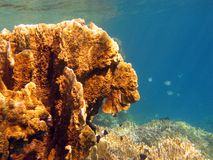 Coral reef with yellow  fire coral - underwater Royalty Free Stock Photos
