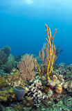 Coral reef yellow rope sponge Stock Images