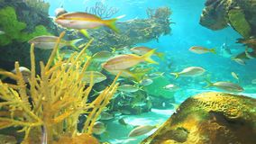 A coral reef with Yellowtailed Snapper and other tropical fish swimming stock video