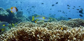 Coral reefs Royalty Free Stock Image