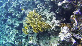 Coral Reefs in the Red Sea. Beautiful Colorful Tropical Fish on Vibrant Coral Reefs Underwater in the Red Sea. Egypt. Sealife in the Red Sea stock video footage