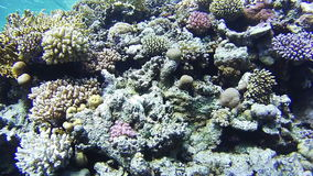 Coral Reefs in the Red Sea, Egypt. Coral Reefs in the Red Sea. Beautiful Colorful Tropical Fish on Vibrant Coral Reefs Underwater in the Red Sea. Egypt. Sealife stock video footage