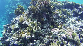 Coral Reefs in the Red Sea, Egypt. Coral Reefs in the Red Sea. Beautiful Colorful Tropical Fish on Vibrant Coral Reefs Underwater in the Red Sea. Egypt. Sealife stock video