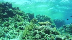 Coral Reefs in the Red Sea, Egypt. Beautiful Colorful Tropical Fish on Vibrant Coral Reefs Underwater in the Red Sea. Egypt. Sealife in the Red Sea stock footage