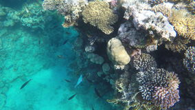 Coral reefs in the red sea. Visible coral and fish stock footage