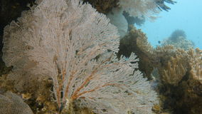Coral reefs underwater. A full shot of coral. Shot pans to the right stock video footage