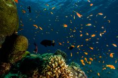 Coral reefs and water plants in the Red Sea, colorful and different colors royalty free stock photo