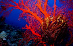 Coral Reek. Scuba diving photo coral reef picture taken in okinawa japan Royalty Free Stock Image