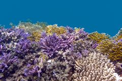 Coral reel at the bottom of tropical sea with violet acropora corals on blue watter background Royalty Free Stock Photo