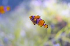 Coral Reel Fish anaranjada en el mar de Tailandia fotografía de archivo libre de regalías